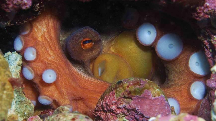 35_foto_79_polpo_(octopus_vulgaris)_3.jpg