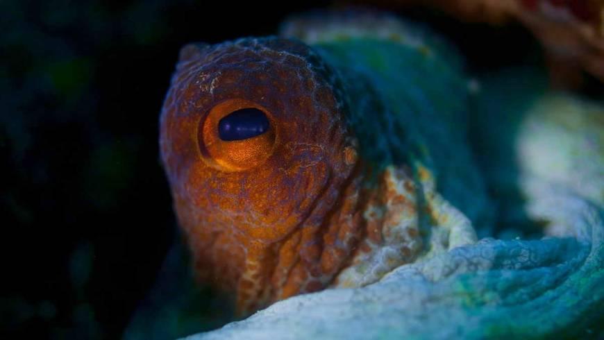 44_foto_78_polpo_(octopus_vulgaris)_2.jpg