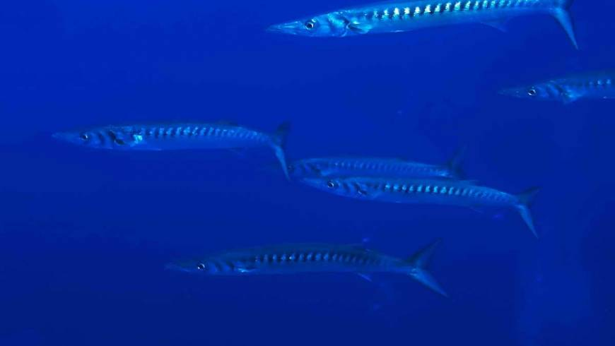 54_foto_66_barracuda_(sphyraena_barracuda).jpg